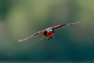 Superjet - Pecho colorado volando
