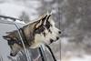 3 amigos (begineerphotos) Tags: dog dogs husky huskies siberianhusky three 3 reflection vehicle window snow