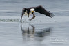 Eagle Fishing (caroljeanphotography) Tags: baldeagle eagle americanbaldeagle