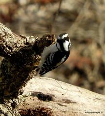 Female Downy Woodpecker_N3967 (Henryr10) Tags: ottoarmlederpark hamiltoncountyparkdistrict cincinnati ottoarmledermemorialpark armlederpark littlemiamiriver greatparksofhamiltoncounty downywoodpecker picoidespubescens avian bird woodpecker picoides pubescens vogel ibon oiseau pasare fågel uccello tékklistar dowo