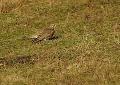 bird (Simon Dell Photography) Tags: uk garden brown nature wildlife simon dell photography sheffield shirebrook valley views horse silhouette s12 hackenthorpe 2018