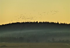 Geese over mist..x (Lisa@Lethen) Tags: geese birds landing misty morning sunrise trees woods weather nature