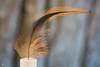 Bird feather(3) (RVRFotografie) Tags: rood