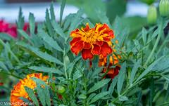 Red and Orange (mandark_898) Tags: orange red flower green garden bed morning macro close
