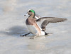 American Wigeon landing on ice (Mawrter) Tags: americanwigeon wigeon duck cambridgemaryland maryland ice landing winter nature wild wildlife canon bird avian specanimal