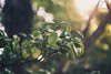 Morning's sunbeam (Yannick Charifou Photography ©) Tags: nikon d850 afs2470mm28g 2470mm 28 nikkor nikon2470mmf28gedifafs morning matin sunbeam sun soleil rayon lumière light flare feuille feuillage nature bokeh vert green dof depthoffield profondeur profondeurdechamps extérieur full fullframe fx charifou usa garden tea japan asie