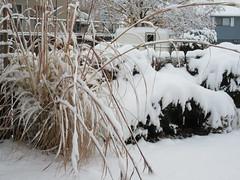 Bowed grasses (jamica1) Tags: snow winter grasses bush kelowna okanagan bc british columbia canada
