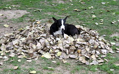 leafy pillow (kexi) Tags: delhi india asia dog animal bw blackandwhite grass leaves bed canon february 2017