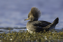 Revisiting the Lagoon - Sitting pretty just waiting for my Prince to come (Chantal Jacques Photography) Tags: wildandfree bokeh hairdoo female hoodedmerganser waiting for valentine waitingforvalentine waitingformyprince
