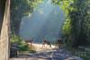 Under Highbury (meniscuslens) Tags: whitetail deer london ontario canada path morning trail track sunlight beam