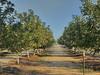 Juglans regia-00 (The Tree Library (TreeLib.ca)) Tags: englishwalnut juglansregia