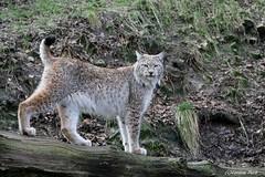 Lynx boréal (Passion Animaux & Photos) Tags: lynx boreal eurasianlynx lynxlynx zoo jurques france