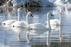BHP08026 (GabriolaBill) Tags: swan swans bird birds nelder pond gabriola island gabriolaisland bc british columbia canada salish sea salishsea nature wildlife birdlife water sony a7r2 a7rii a7rm2 a7rmii 100400mm gm gmaster