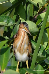 least bittern (c) 2017 AnneDuPont. All Rights Reserved.  DSC_0542tx