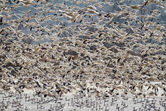 En Route to Canada (tresed47) Tags: 2018 201802feb 20182018middlecreekbirds birds canon7d content february folder goose lancastercounty middlecreek pennsylvania peterscamera petersphotos places season snowgoose takenby us winter