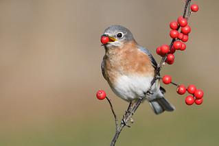 Bluebird with berry