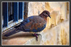 Local Dove up close... (Mike Goldberg) Tags: dove pigeon bird domestic neighborhood jerusalemvicinity nikond5300 effects mikegoldberg