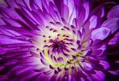 Purple Macro Passion (T P Mann Photography) Tags: monday macro macros flower purple color detail dof close macrounlimited