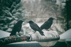 The gang waiting for me to put peanuts on my balcony railing for them... which I did. (annapolis_rose) Tags: birds crows corvids snow snowing winter fraserstreet streetlamp vancouver