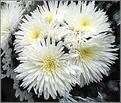 Chrysanthemum Flower, (** Janets Photos **) Tags: uk hull citycentres chrysanthemums white flora plants flowers macro closeups