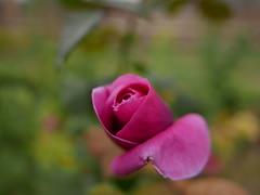 Rosa (jantoniojess) Tags: rosas rosa rose petal pétalos flores flor flower sevilla parquedemaríaluisa jardín jardines bokeh panasoniclumix panasoniclumixlx100