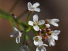 Arabidopsis thaliana (wall cress, mouse-ear cress, シロイヌナズナ) (Greg Peterson in Japan) Tags: 梅 shiga hayashi plants 栗東市 ritto japan plumblossoms 植物 花 flowers 滋賀県 shigaprefecture