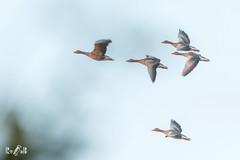 In Flight (Renate van den Boom) Tags: 10oktober 2017 europa grauwegans hofvantwente jaar maand nederland overijssel renatevandenboom vogels