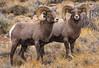 Rocky Royality (HLazyJ - Susan Humphrey) Tags: bighornsheep colorado coloradoroads sheep wildlife canonllens canond5s ©susanhumphrey