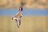 Banded Bird (gseloff) Tags: killdeer bird flight bif nature wildlife animal water reflection bayou horsepenbayou pasadena texas kayak gseloff