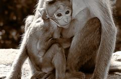 A baby Monkey hanging on to his mama Monkey (Vina@Graphy) Tags: monkey wildlife baby srilanka ceylon sigiriya blackandwhite vintage animals