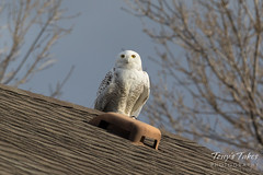 Snow Owl takes flight - sequence - 1 of 9