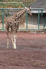 Giraffe / キリン (kiyoto.hamano) Tags: d500 多摩動物公園 tamazoologicalpark キリン giraffe