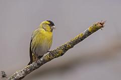 Spinus spinus (nonnogrizzly) Tags: spinusspinus lucherino uccello aves natura fauna bosco ontano albero