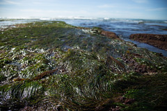 Seagrass (Caryn Sandoval) Tags: california tidepools tidepool nature ocean sea sealife sunset