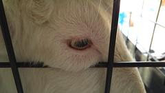 20171001_070944 (Lonly Goat) Tags: やぎ ヤギ 山羊 目 eye animal pet 座敷ヤギ