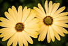 Two African Daisies 3-0 F LR 1-27-18 J257 (sunspotimages) Tags: flower flowers yellow yellowflower yellowflowers yellowdaisy daisies daisy africandaisy africandaisies nature yellowdaisies grouptripod