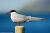 Sterna (Marco Pantanella - www.Paesaggimontani.com) Tags: sterna islanda uccelli wild natura pentax fa300