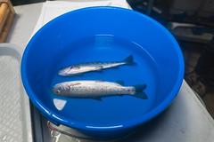 Fish for Tagging (FISH-BIO) Tags: training fisheriestraining taggingfish fish tag floytag disk tagpeterson tagfish cradlepit tagpit
