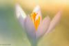 Flowers-52 (niekeblos) Tags: crocus flower soft nature macro bokeh edited canon60d