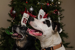 familyxmas_9 (DS_Mastery) Tags: dogs pitbull bluenose darkside dsmastery nikon d5100 sb700 christmas lights lightroom puppy photography