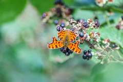 comma woodland butterfly (lauraknowles4) Tags: nymphalidae polygoniacalbum insect creatures newark wildlife blurred blurry 70300lens tamron capture nature canon wings orange butterfly
