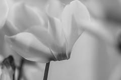 Douceur en noir et blanc (Gisou68Fr) Tags: monochrome noiretblanc blackandwhite cyclamen fleur fleurs flower flowers canoneos650d macrodreams macro bokeh ef100mmf28lmacroisusm