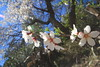 Flores blancas (Micheo) Tags: granada spain almendros valledelecrin almondblossoms almondtree beauty