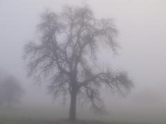 TREE IN MIST  P1141465 (2) (2) (hans 1960) Tags: outdoor nature natur tree baum winter mist misty germany wiese gras nebel