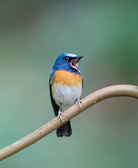 Blue-throated Blue Flycatcher (Koshyk) Tags: flycatcher thattekkad kerala nikon bluethroatteblueflycatcher salimalibirdsanctuary