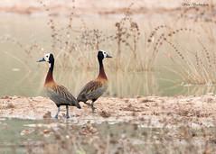 White-faced Whistling Ducks (sbuckinghamnj) Tags: ducks duck whitefacedwhistlingduck waterfowl guyana rupununi southamerica