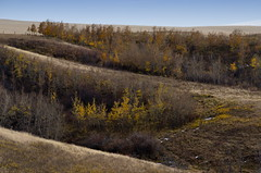 Autumn Coulee Trees (Bracus Triticum) Tags: autumn coulee trees アルバータ州 alberta canada カナダ 9月 九月 長月 くがつ kugatsu nagatsuki longmonth 2017 平成29年 fall september