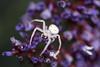 Macro Monday Spider (Amy Maher) Tags: hmm nikond750 glowing macro lessthananinch macromondays amongsttheflowers flowers garden spider