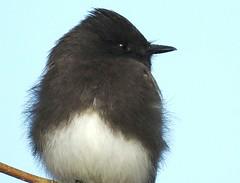 Black Phoebe #6 (beautyinature4me) Tags: bird avian blackphoebe flycatcher small whitefront blackheadback pagesprings arizona december2016