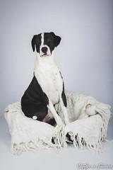 Diablo (capteur de souvenirs) Tags: dog staff labrador studio